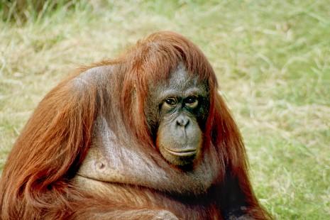 Orangutan-bornean