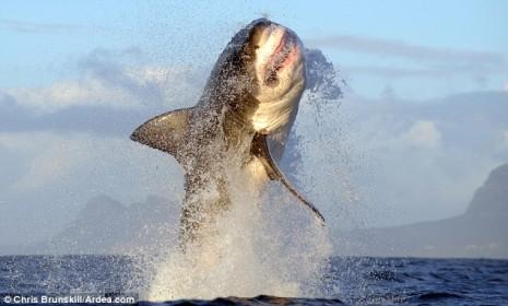 tiburon_blanco_1