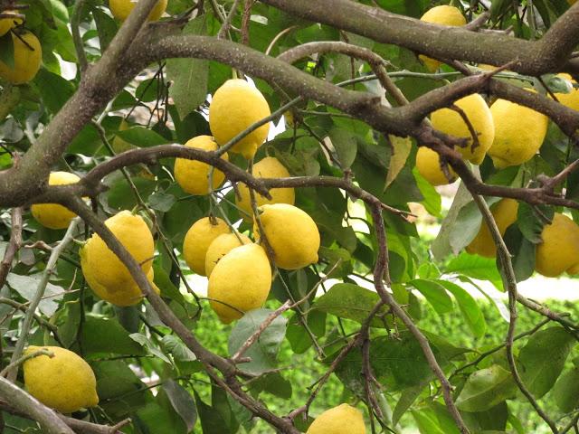 Germinar semillas de lim n utilidad y propiedades del for Limonero sin limones