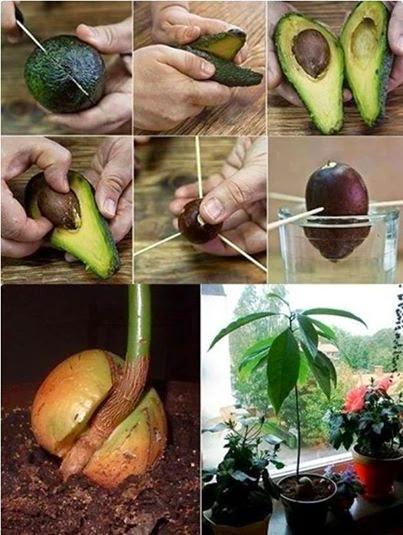 C mo cultivar una planta de paltas en casa y propiedades for Como cultivar aguacate
