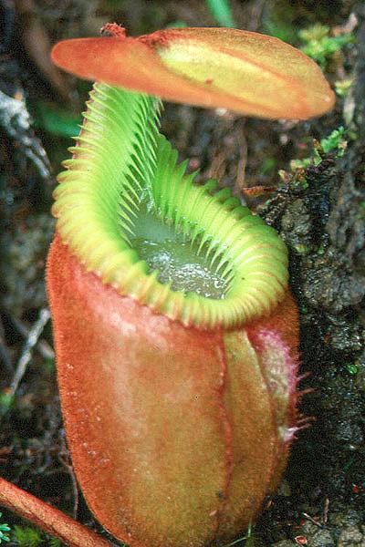 nepenthes_villosa1_1