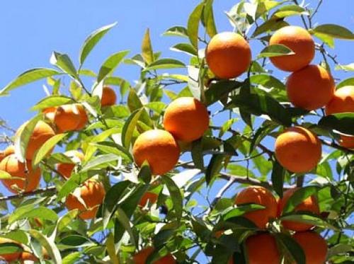 C mo cuidar rboles frutales en el huerto de casa - Como cuidar los arboles frutales ...