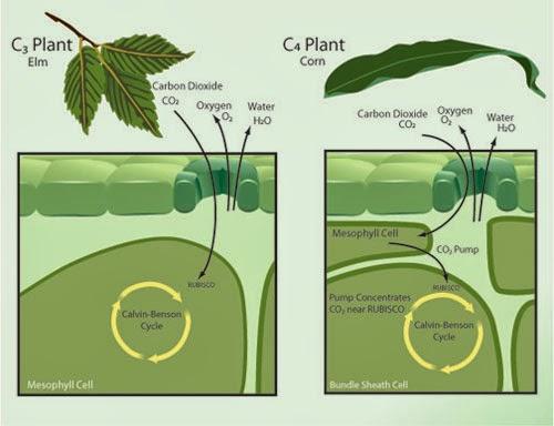 Fijación de carbono en las plantas C4 2