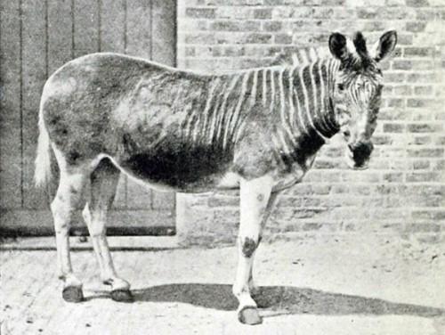 las-fotos-de-10-animales-que-ya-se-han-extinguido-quagga-600x451