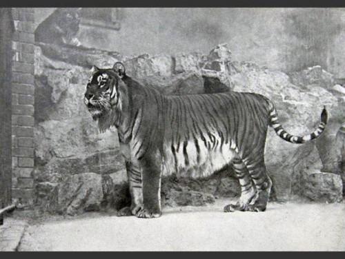 las-fotos-de-10-animales-que-ya-se-han-extinguido-tigre-caspian-600x451