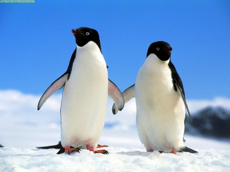 Animals Penguins_Companions, Adelie Penguins