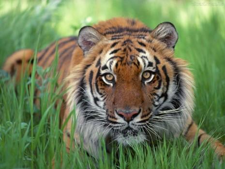 rottwieler-rottweiler-vs-tigre-de-bengala-picarena-image-match-349582