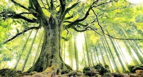 Arbol-viejo-absorbe-carbono
