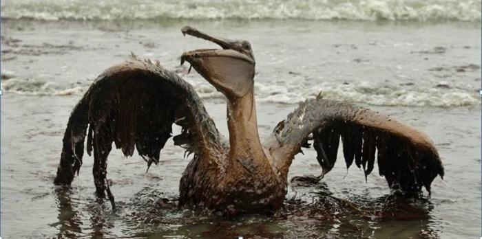 oilgolfo-pelicano-e1429466384808