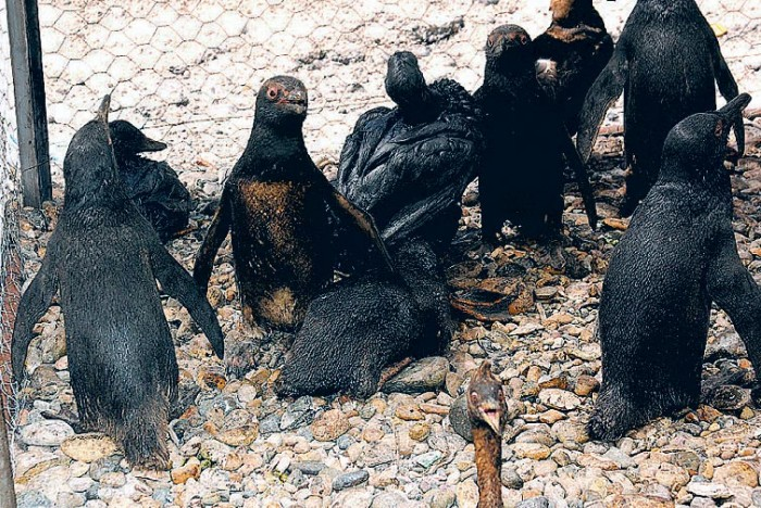 oilpinguinos-empetrolados-dic-2007-chubut