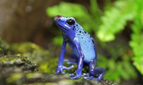 Rana-veneno-azul-Anfibios-Bioparc-Valencia-2013