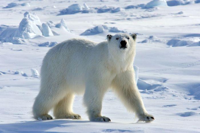 700px-Polarbear44