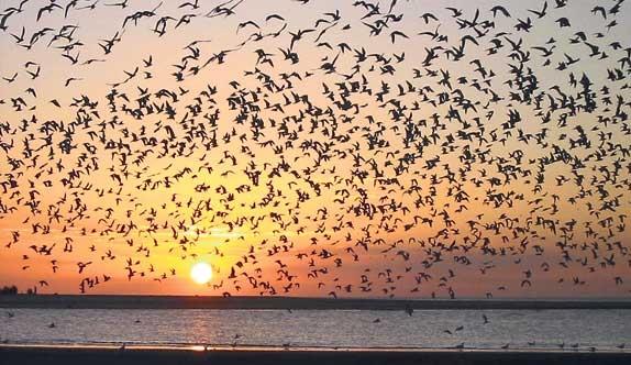 aves-migratorias