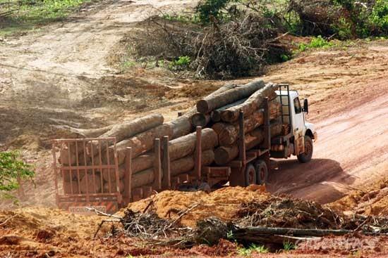 caminones-cargados-de-madera-d