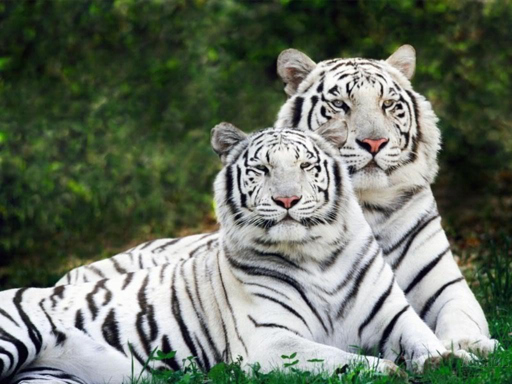 imagenes-de-tigres-1