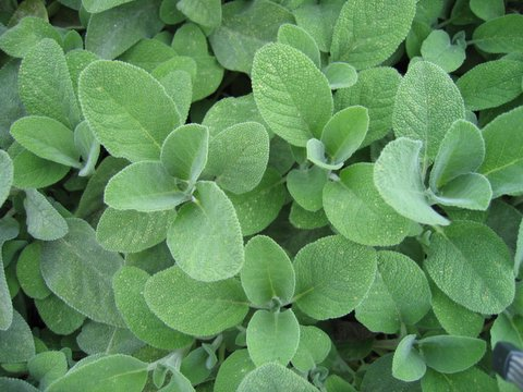 salvia officinalis(2)