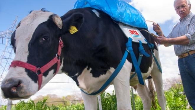 Metano-de-las-vacas-como-combustible-para-coches