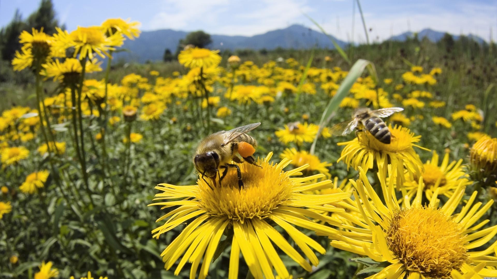 ahc3ad-estan-las-abejas-libando-nectar-de-la-flor-y-polinizando-con-el-culete