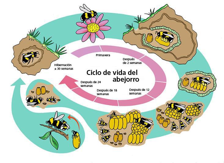 ciclo_de_vida_abejorros