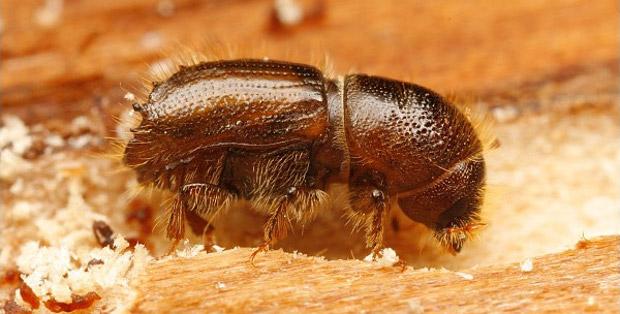 escarabajo-descortezador
