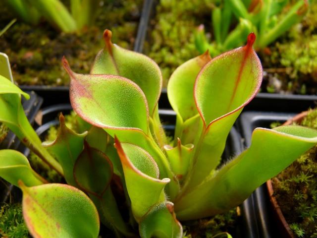 heliamphora-planta-carnivora-comemoscas-2