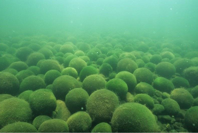 marimo-moss-balls-4[6]