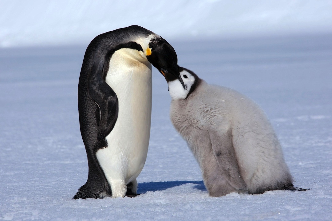 Penguin Mating Season