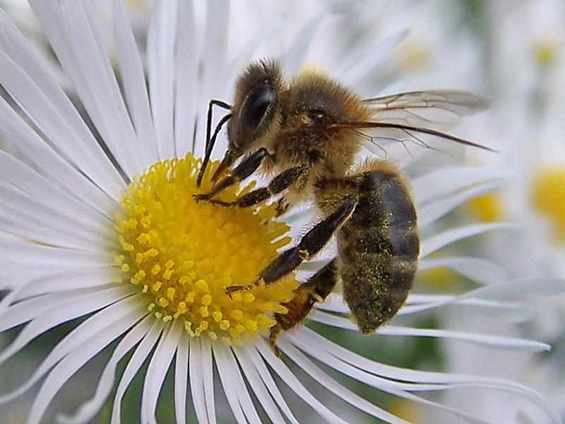 una-abeja-polinizando