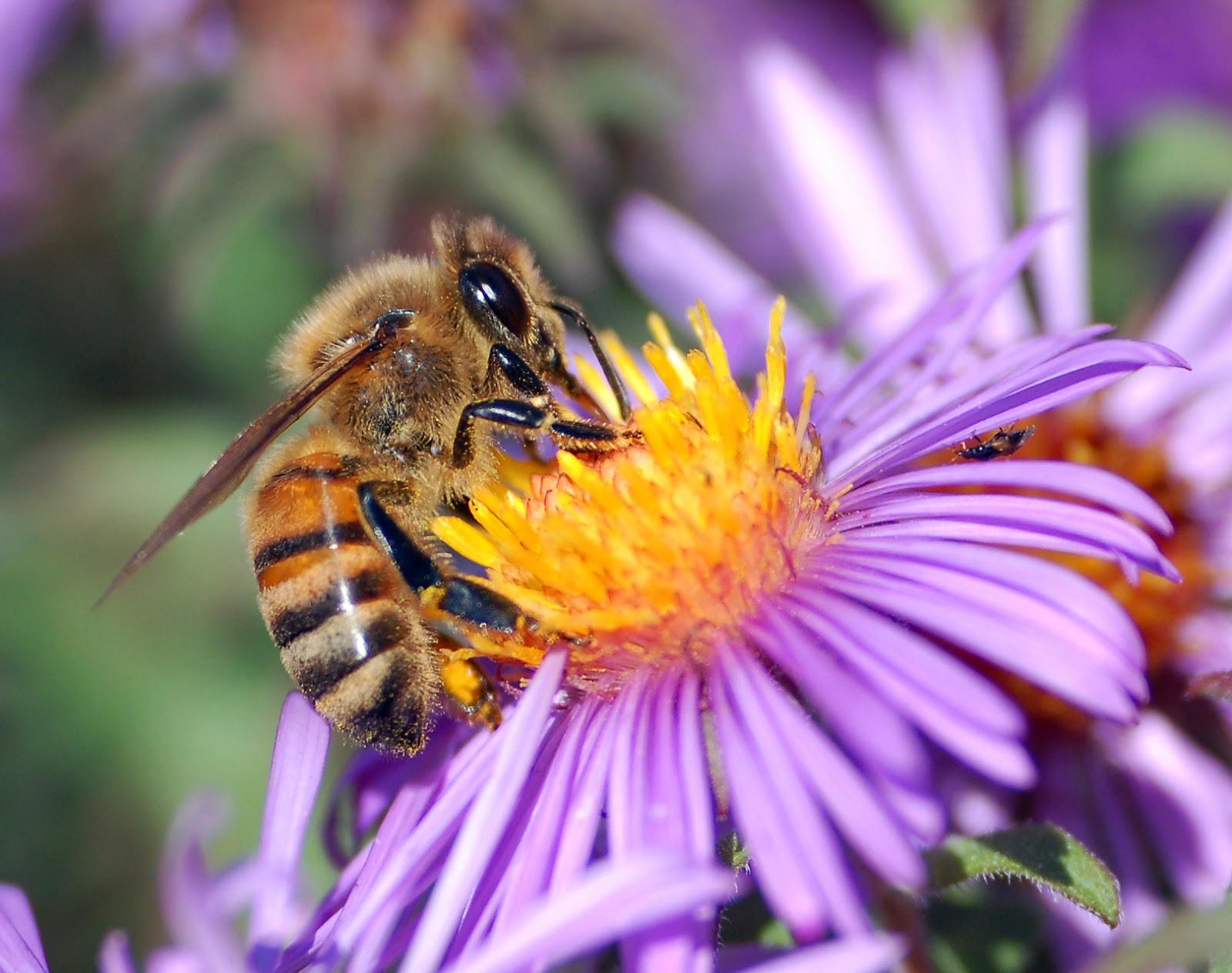 European_honey_bee_extracts_nectar[1]