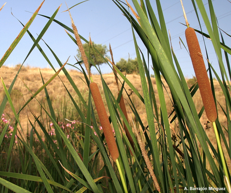Typha domingensis, 3820