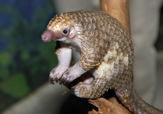 pangolin_ruslancreativecommons
