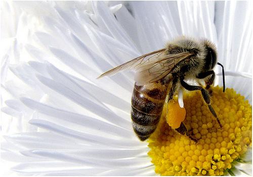 abeja-poliniza