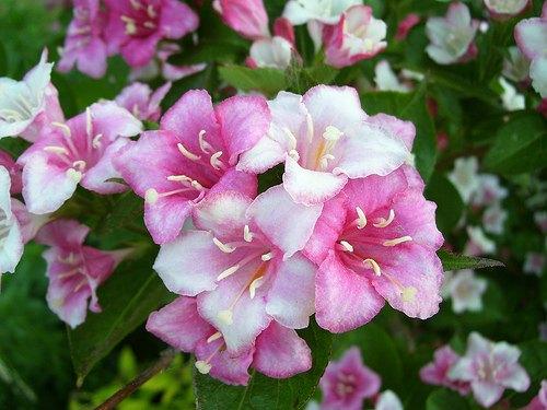 flores-plantas-weigela