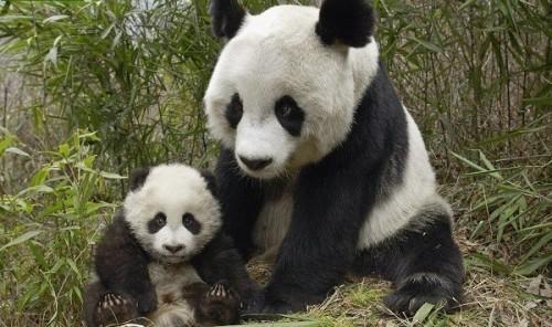 osos-panda-600x355