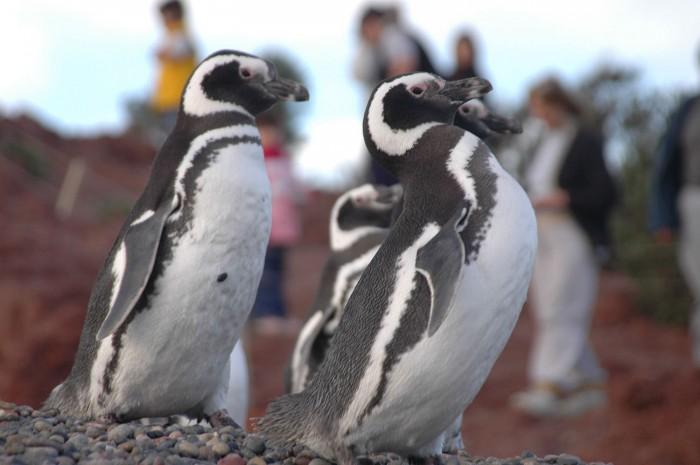 pinguinoTOMBO-1