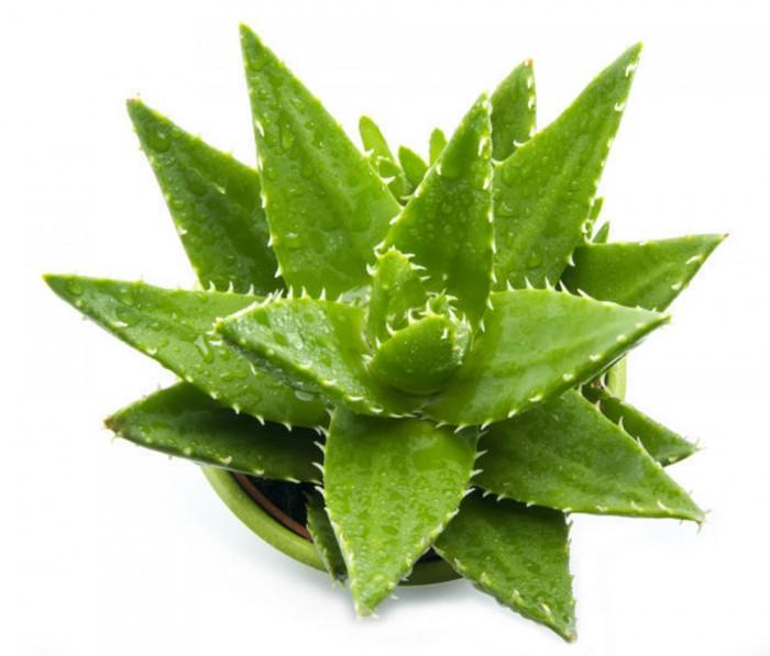 Aloe vera la reina de las plantas medicinales todo sobre el aloe vera ecolog a hoy - Como cuidar la planta de aloe vera ...